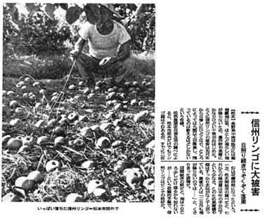 341_36-09-07_朝日_信州リンゴに大被害.jpg